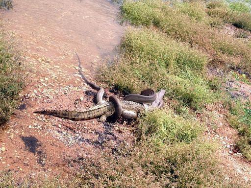 Una serpiente pitón se come un cocodrilo en el lago Moondarra, en Queensland (Australia), el 3 de marzo de 2014.