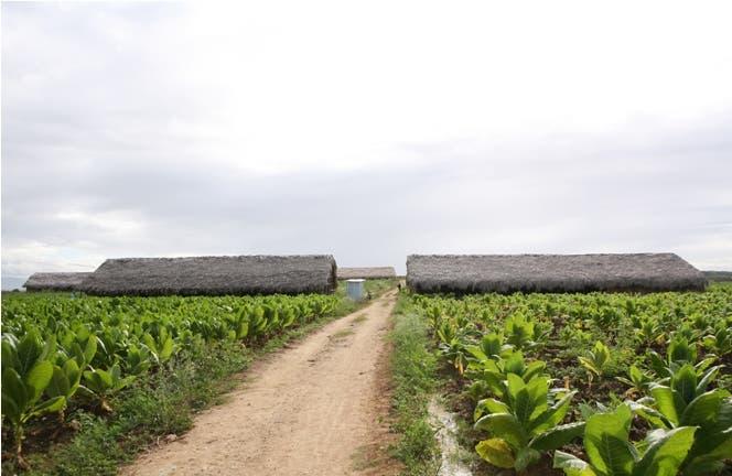 Plantación de tabaco en Monte Cristi, al noroeste de República Dominicana.
