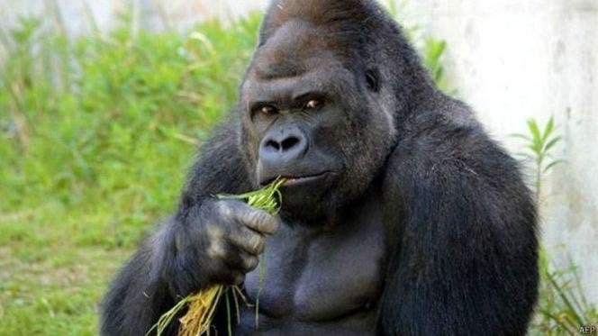 El gorila de la mirada seductora que provoca sensación en Japón