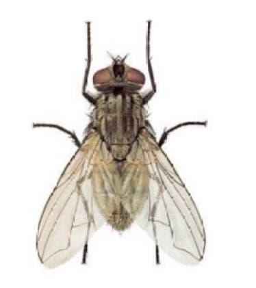 La mosca. Insecto