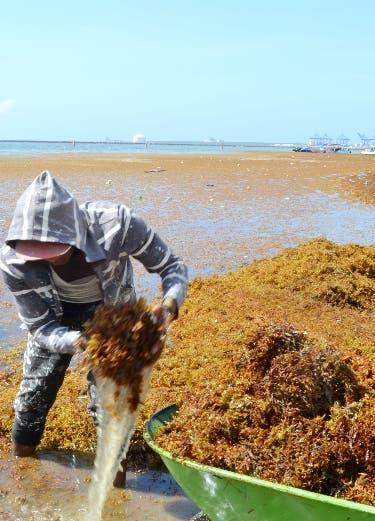 Algas Marina afectan al turismo de Republica Dominicana. Foto: Elieser Tapia.