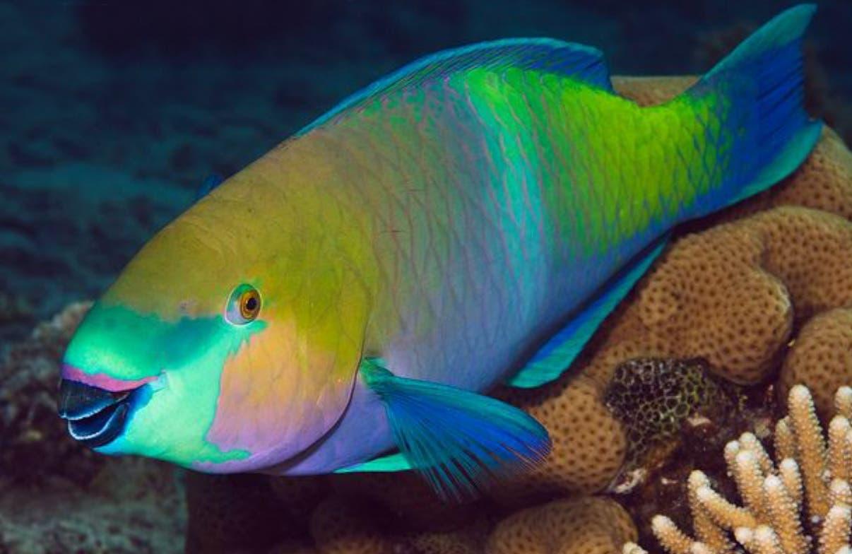 CODOPESCA decomisa 600 libras de pez Loro en Puerto Plata
