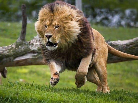 Otro león escapa del Parque Nacional de Nairobi, el undécimo en dos meses