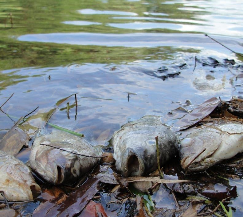 Reportaje en la presa de Hatillo, en Cotui sobre la muerte de los peces (Tilapias). Hoy/ Napoleón Marte 14/08/2010