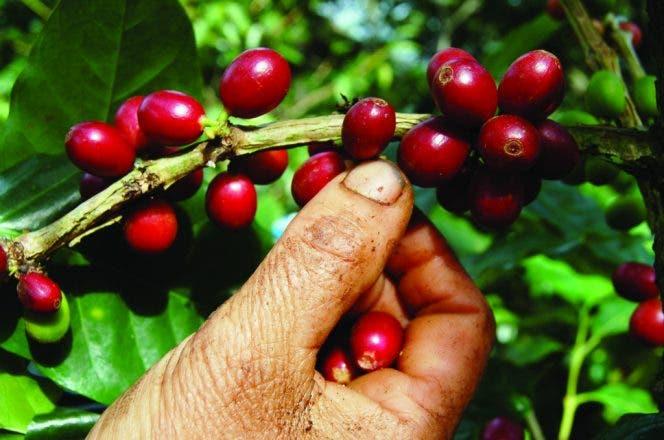 De acuerdo con CONCAFED, la producción nacional de café ha caído a los niveles de hace 100 años, incrementando así la pobreza en las zonas rurales de montaña.