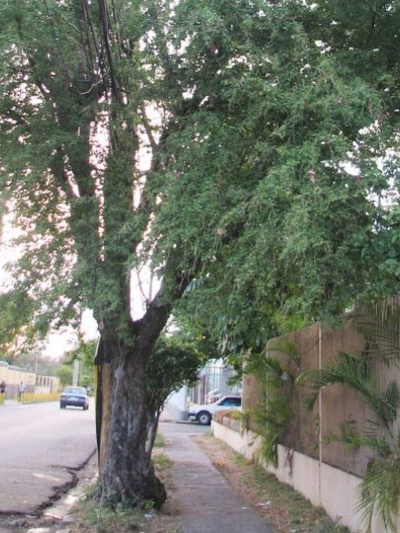 Gina, árbol que avala la cadena alimenticia