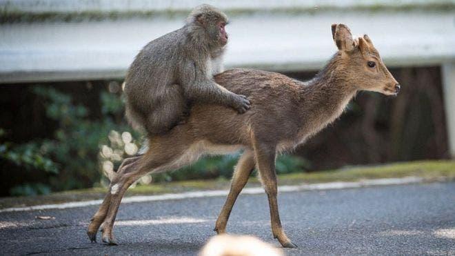 El macaco se montó sobre el ciervo hembra y realizó 15 movimientos sexuales antes de bajarse.