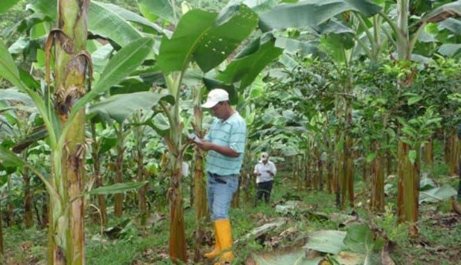 Agricultura entrega insumos a productores de plátanos de La Vega y Espaillat