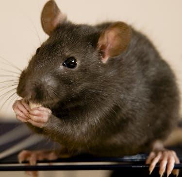 Esta bacteria se transmite por animales como ratas.