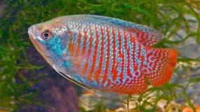 pez-loro-curiosidades-datos-d-620x349