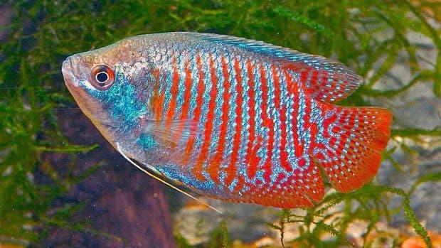 Geólogo dice pez loro no es productor de arena en playas dominicanas