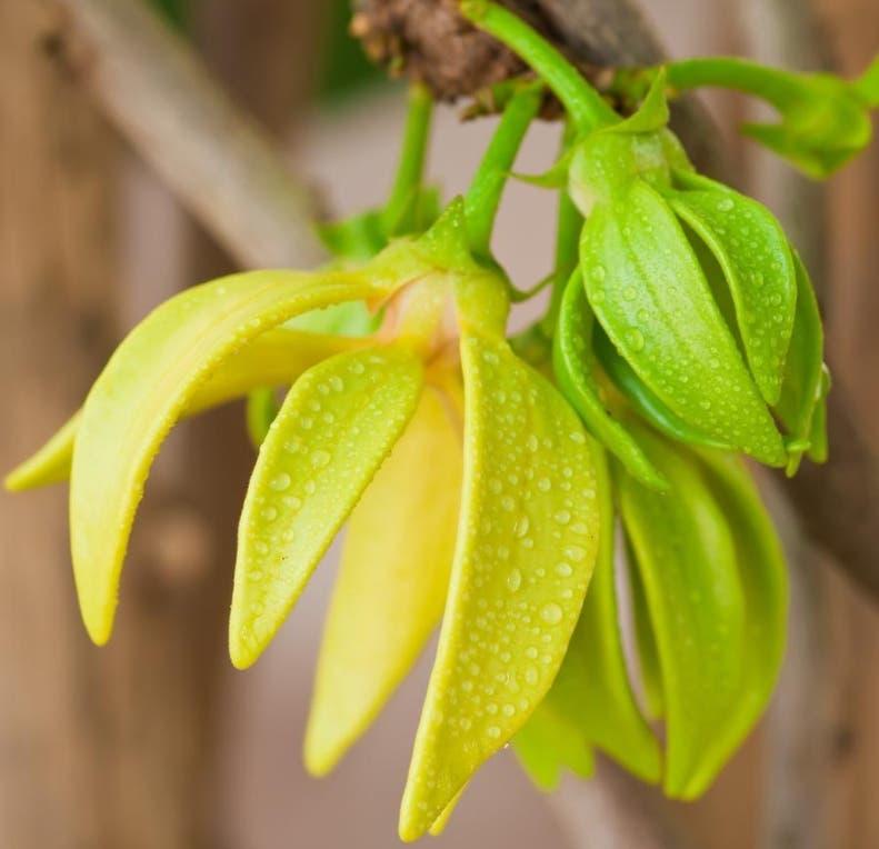 De sus pétalos se destilan  principios activos para la  perfumería.