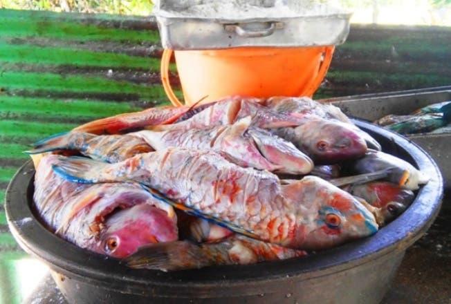 Advierten se agota el plazo para expendio y consumo del pez loro o cotorra