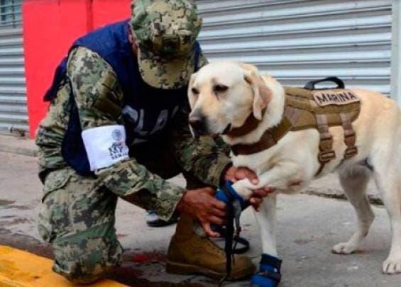 Frida, una perra labrador con 52 rescates exitosos en sus siete años de vida.