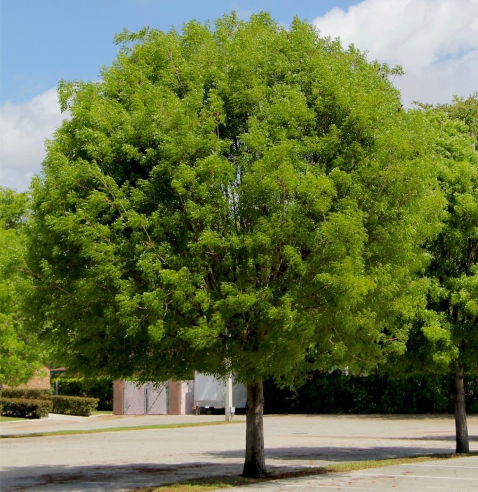 Photos of mahogany tree