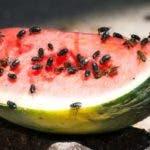Los científicos usaron técnicas de secuenciación de ADN para estudiar una colección de microbios que se encuentran dentro y sobre los cuerpos de las moscas.
