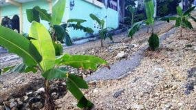 comunitarios-siembran-platanos-en-urbanizacion-de-puerto-plata-en-protesta-por-mal-estado-de-calles