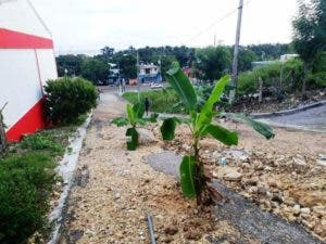 comunitarios-siembran-platanos-en-urbanizacion-de-puerto-plata-en-protesta-por-mal-estado-de-calles-i