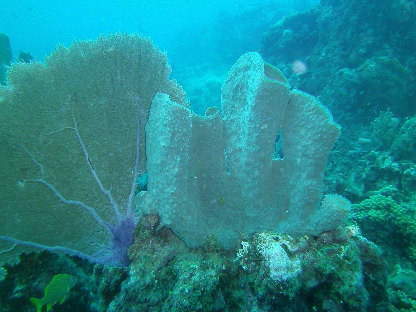 foto-tomada-en-la-isla-catalina-callyspongia-vaginalis-y-gorgonia-ventalina