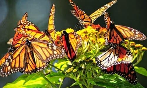 la-mariposa-monarca-tiene-su-vuelo-m_s-bajo-de-los-_ltimos-20-a_os