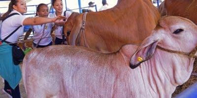 Jóvenes  tocan ganado  mostrado  en  la Feria Agropecuaria en la Ciudad Ganadera  .  Elieser Tapia.