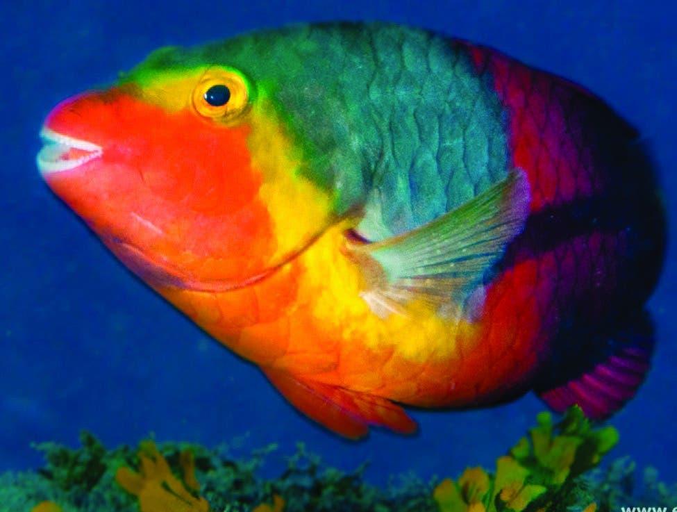 Pez loro: vela por la preservación de los corales