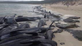 Esta foto proporcionada por el Servicio de Parques y Vida Silvestre muestra más de 150 ballenas piloto de aletas cortas en una playa de la Bahía de Hamelin, en el occidente de Australia, el viernes 23 de marzo del 2018. (WA Department of Biodiversity, Conservation and Attractions, Parks and Wildlife Service/AAP via AP)