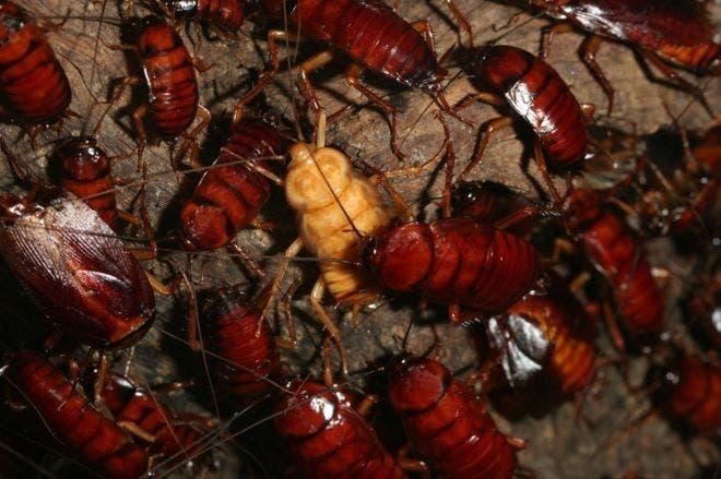Las cucarachas son criadas en una granja operada por una compañía farmacéutica.