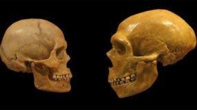 Las diferencias entre el cerebro de los humanos modernos y los neandertales pudo haber influido en su misteriosa extinción.