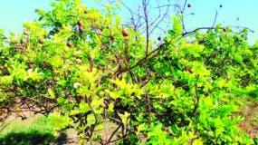 Plantas afectadas por HLB producen  frutas pequeñas y semillas abortadas y necrosadas.