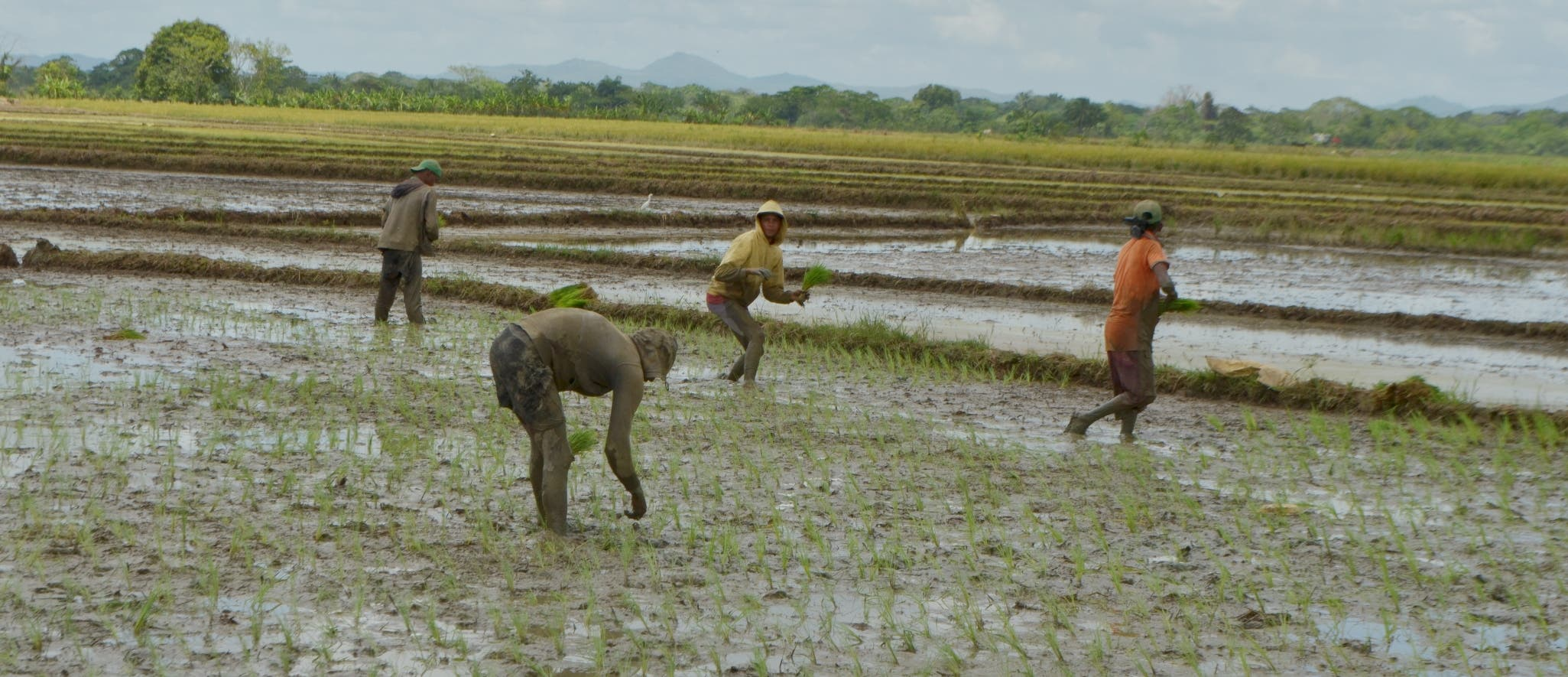 Los parceleros les venden el arroz que cosechan a productores de Bonao por la falta de una factoría en la Hacienda Estrella, de La Victoria.  ANA MÁRMOL