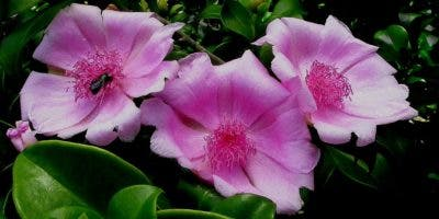 Rosa de Bánica
