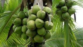 Unidad de coco en los puestos de venta de frutas oscila entre 40 y 50 pesos . Ana MÁrmól