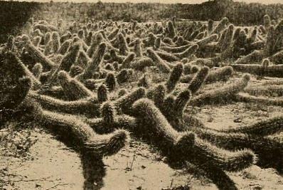 El hábitat natural de la planta son los llanos.