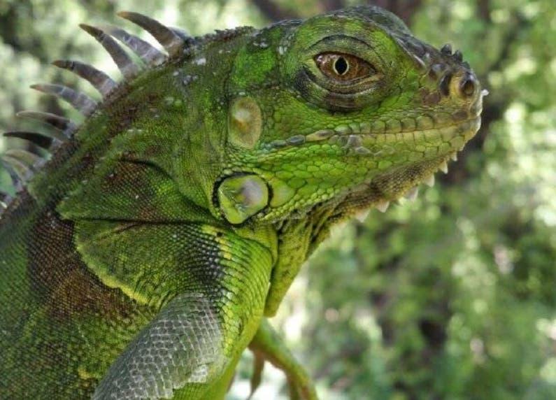 Medio Ambiente advierte que esta higuana es peligrosa.