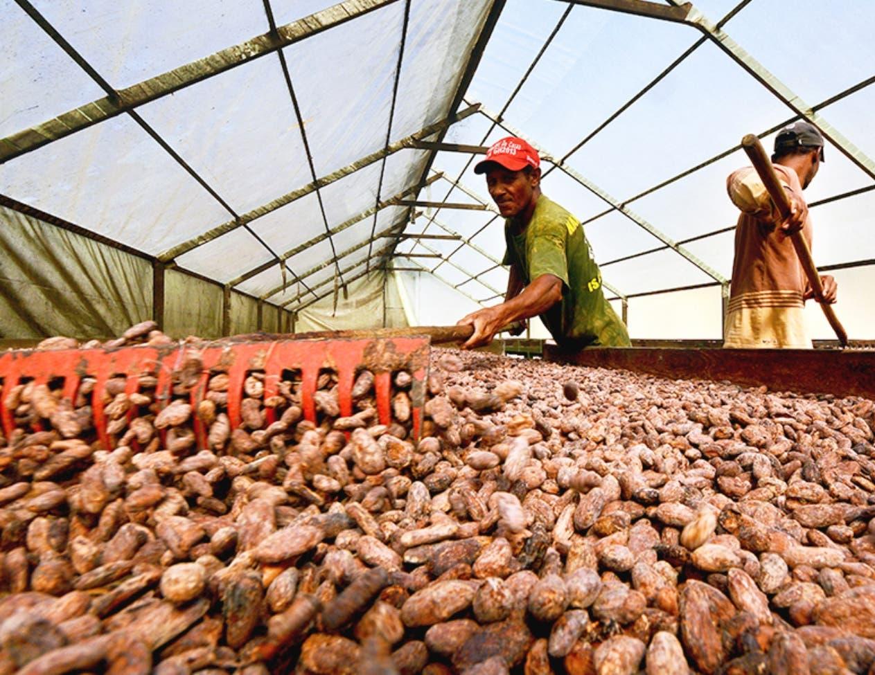 El cacao se ha convertido en uno de los productos con mayor crecimiento de exportación.
