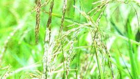 La sequía ha obligado regular el cultivo.  archivo