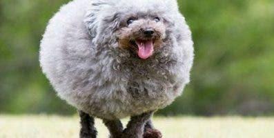 El can ha sido bautizado  como el 'perro-bola'.