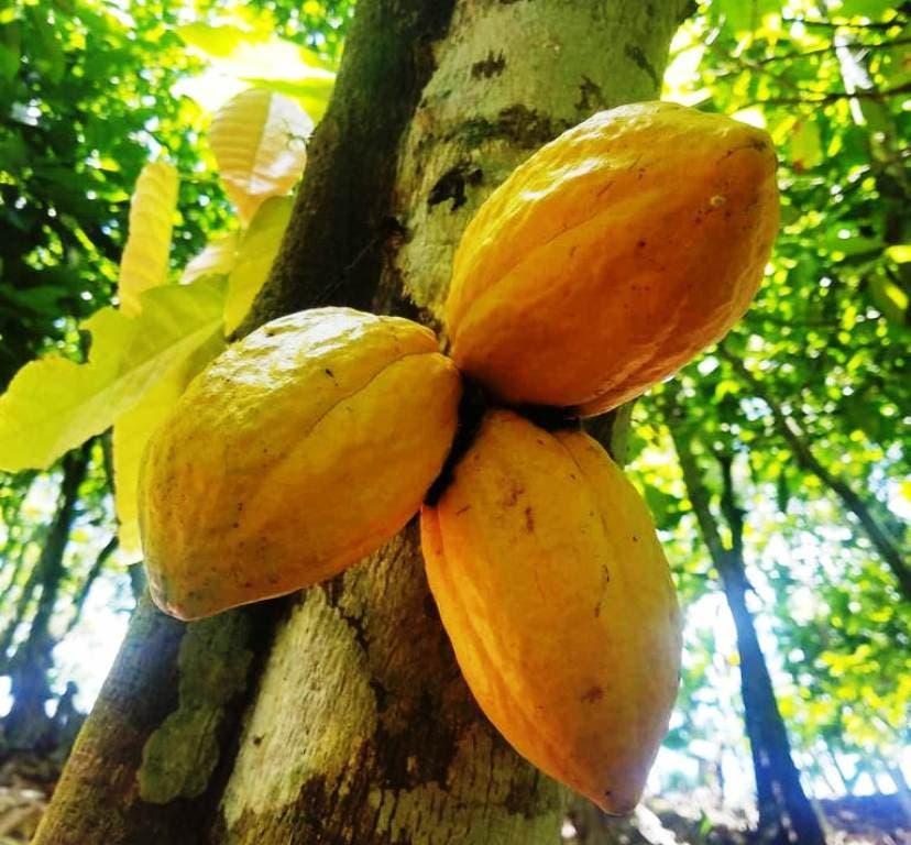productores-de-cacao-organico-en-altamira-siguen-tecnificando-sus-actividades-con-proyecciones-internacionales-1