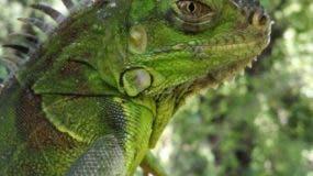 La Iguana Verde es originaria de países de Centroamérica como El Salvador, Guatemala y Costa Rica.