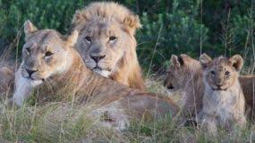 Los dueños de la reserva señalaron que los cazadores se encontraron con una manada numerosa de leones.