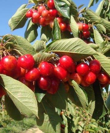 Los demandados producen frutas y víveres.