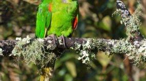El perico (Psittacara chloropterus), una de las especies animales que habitan en el parque.