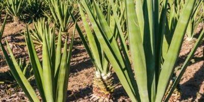 Agave  Antillarum, que es endémica de la isla Española, prospera  en zonas templadas y áridas.