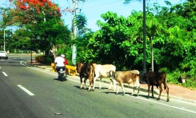 Animales realengos constituyen grave peligro en vías de Puerto Plata