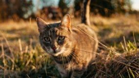"""Los gatos se consideran también """"controladores biológicos"""" por eliminar plagas de ratones."""