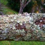 Son plantas inferiores que  prosperan en bosques húmedos ribereños  y nublados, como la sierra de Bahoruco.