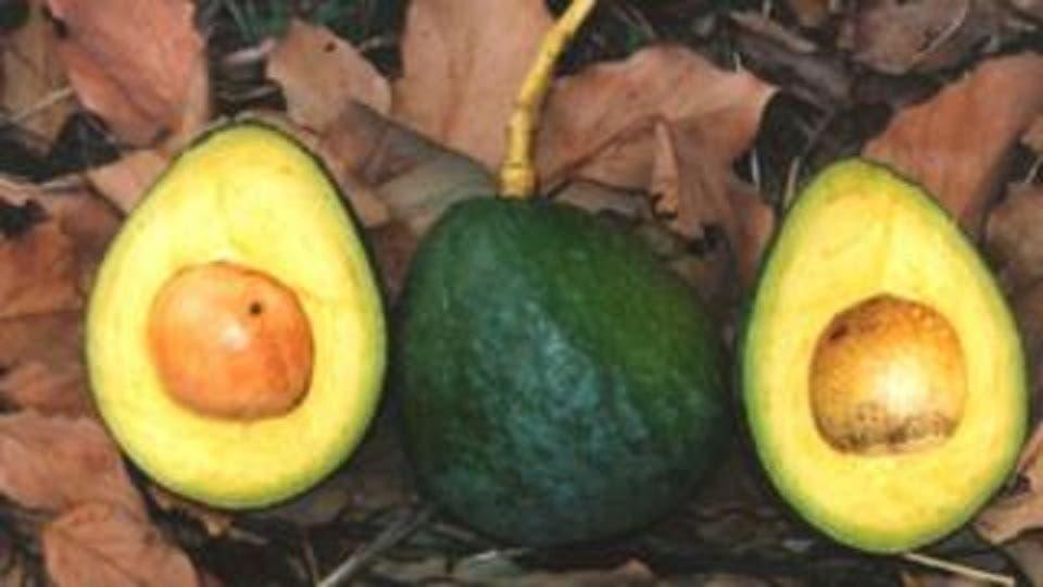"""""""Parece un mango. Pero no es un mango"""", escribió el diario Metro en 2016, cuando la tienda Marks & Spencer empezó a comercializar el aguacate Carla en Reina Unido."""