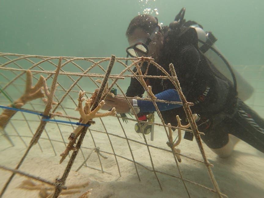 Los arrecifes sirven de barreras que protegen a los manglares y praderas de yerbas marinas de los embates del oleaje.