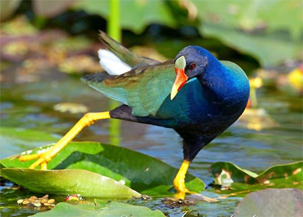 gallareta-azul